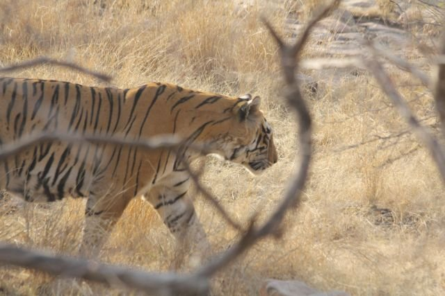 Tiger in Rantambhore NP